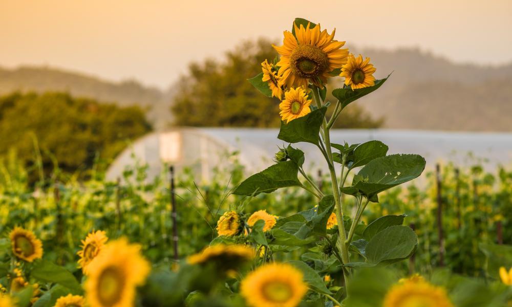The French Laundry Garden - Emma K. Morris - Sunflowers Against Dusk Sky