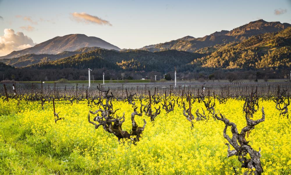 Spring mustard at Robert Biale Vineyards