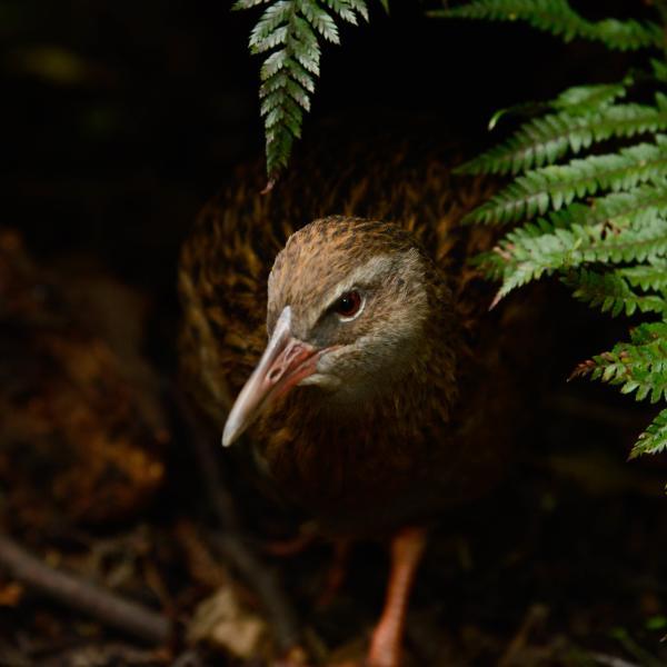 Weka - Kiwi Birdlife Park