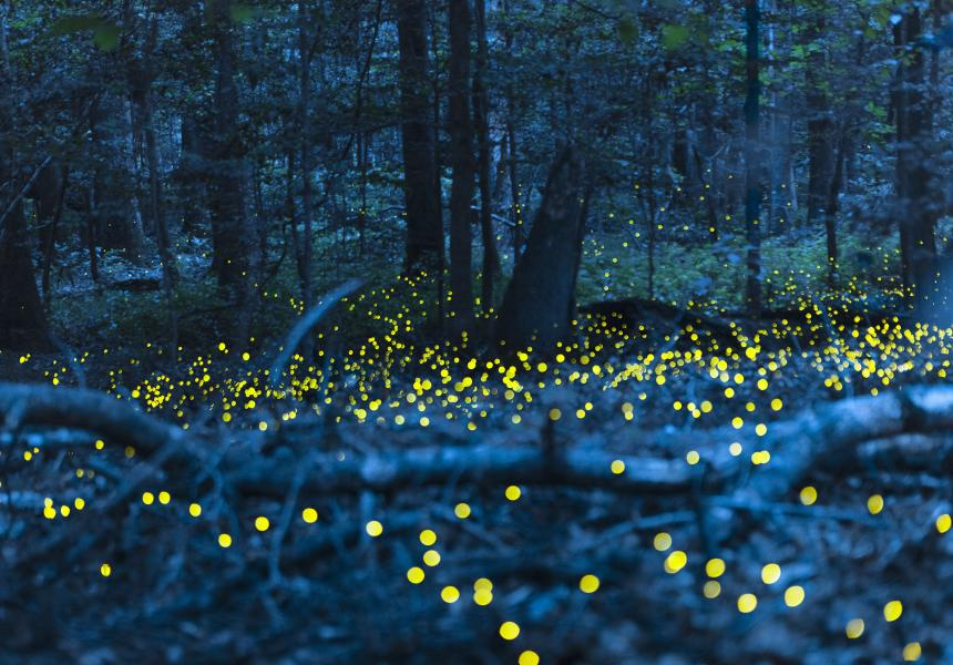 Synchronized_Fireflies_Congaree_National_Park