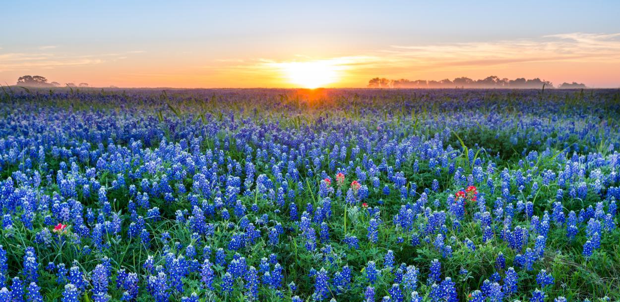 Sunrise over a field of bluebonnet flowers near austin texas
