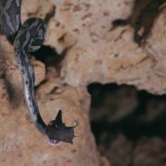 Hanging Snake