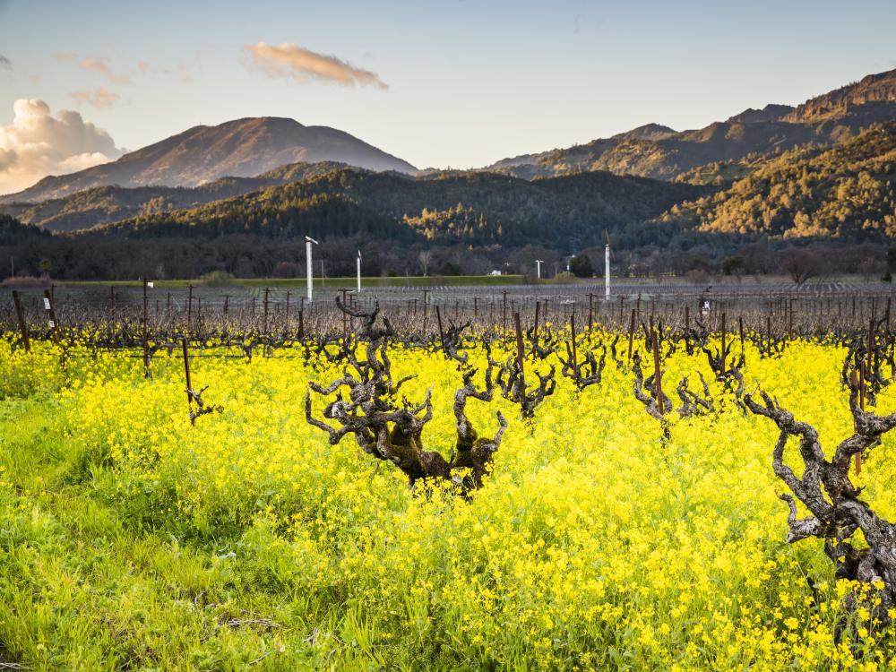 Yellow Flowers At Robert Biale Vineyards