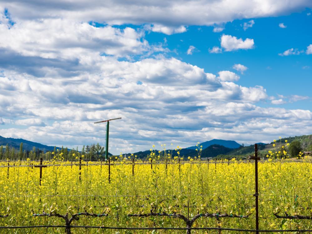 Napa Valley vineyard with mustard in winter