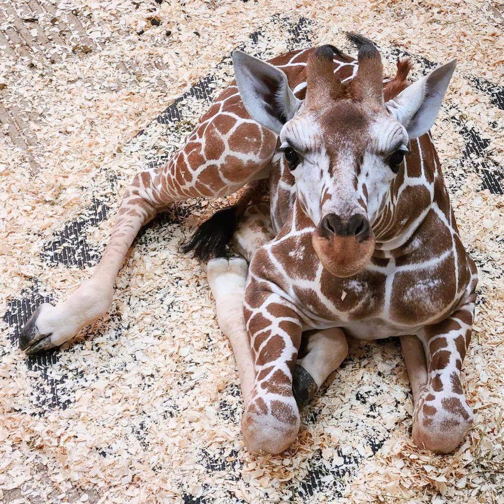baby Giraffe at the Fort Wayne Children's Zoo