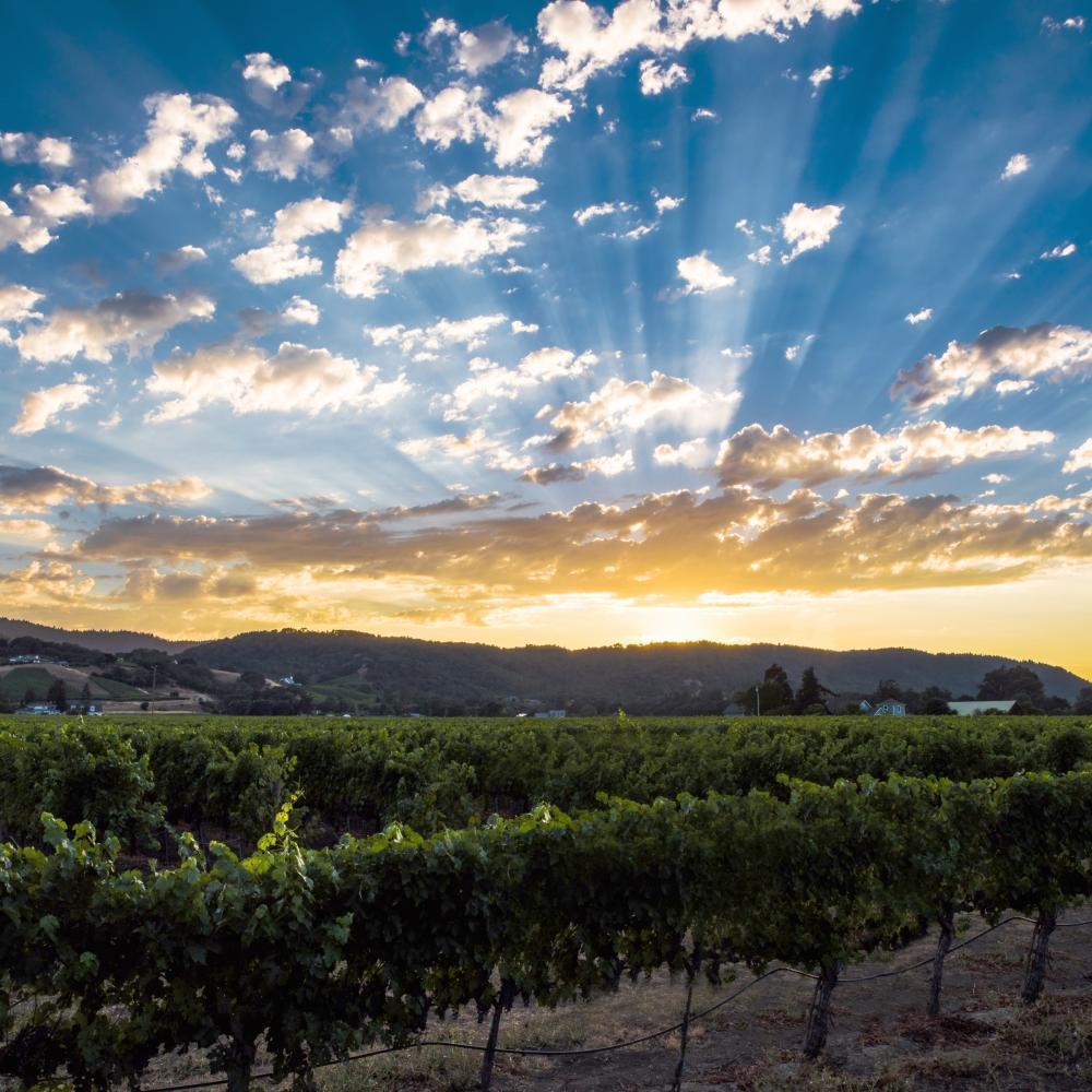 Summer sunset in Napa Valley vineyard