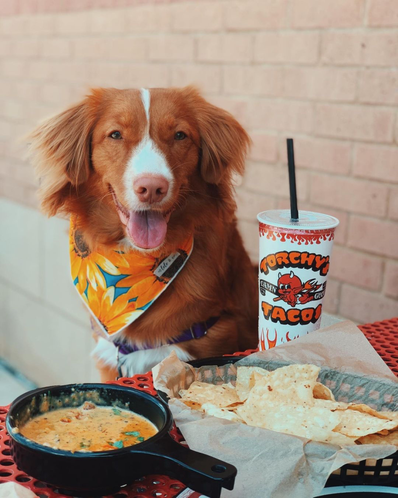 A dog sits in front of a meal from Torchy's Tacos Las Colinas
