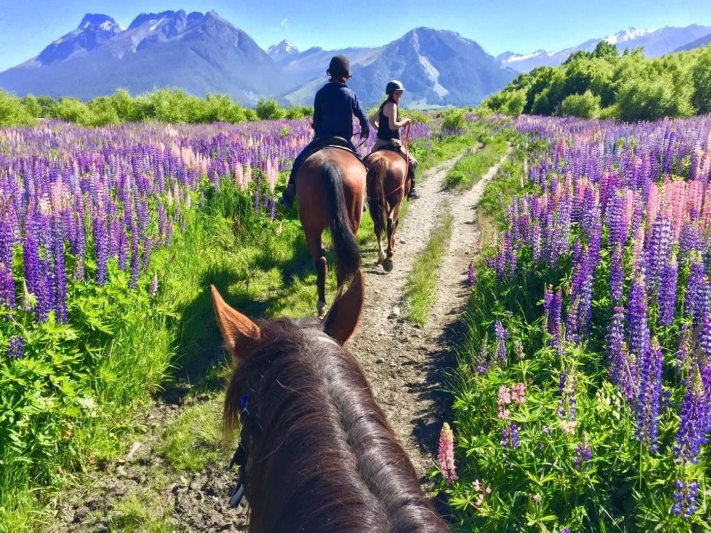 Horse riding through the lupins in Glenorchy