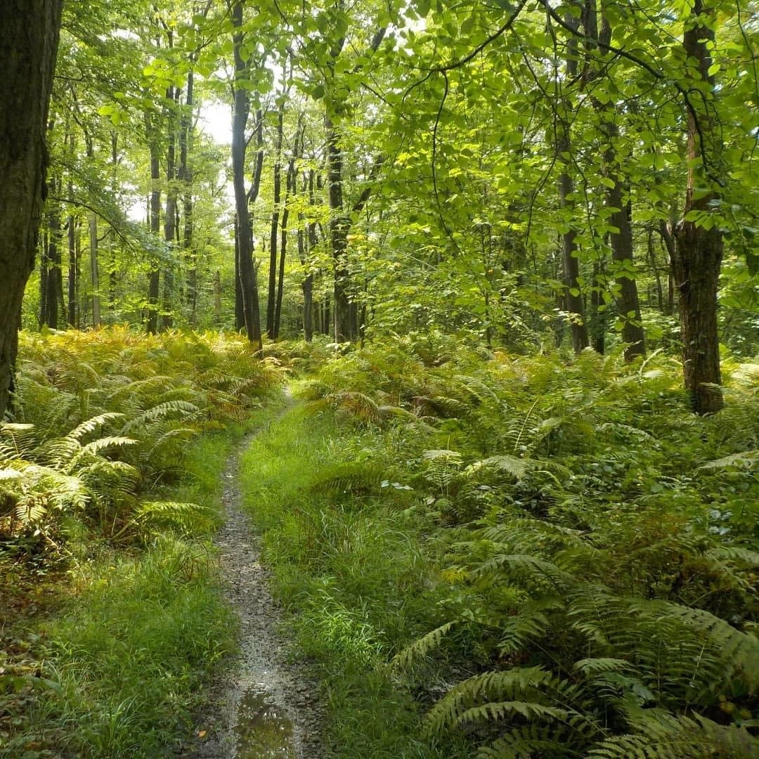 Lush trees and ferns along the Laurel Highlands Hiking Trail