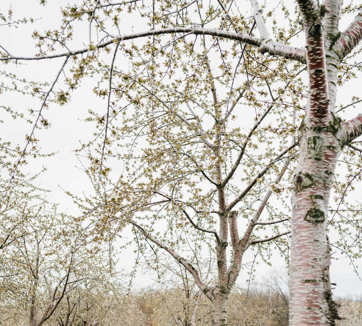 Early Cherry Blossoms on Old Mission Peninsula