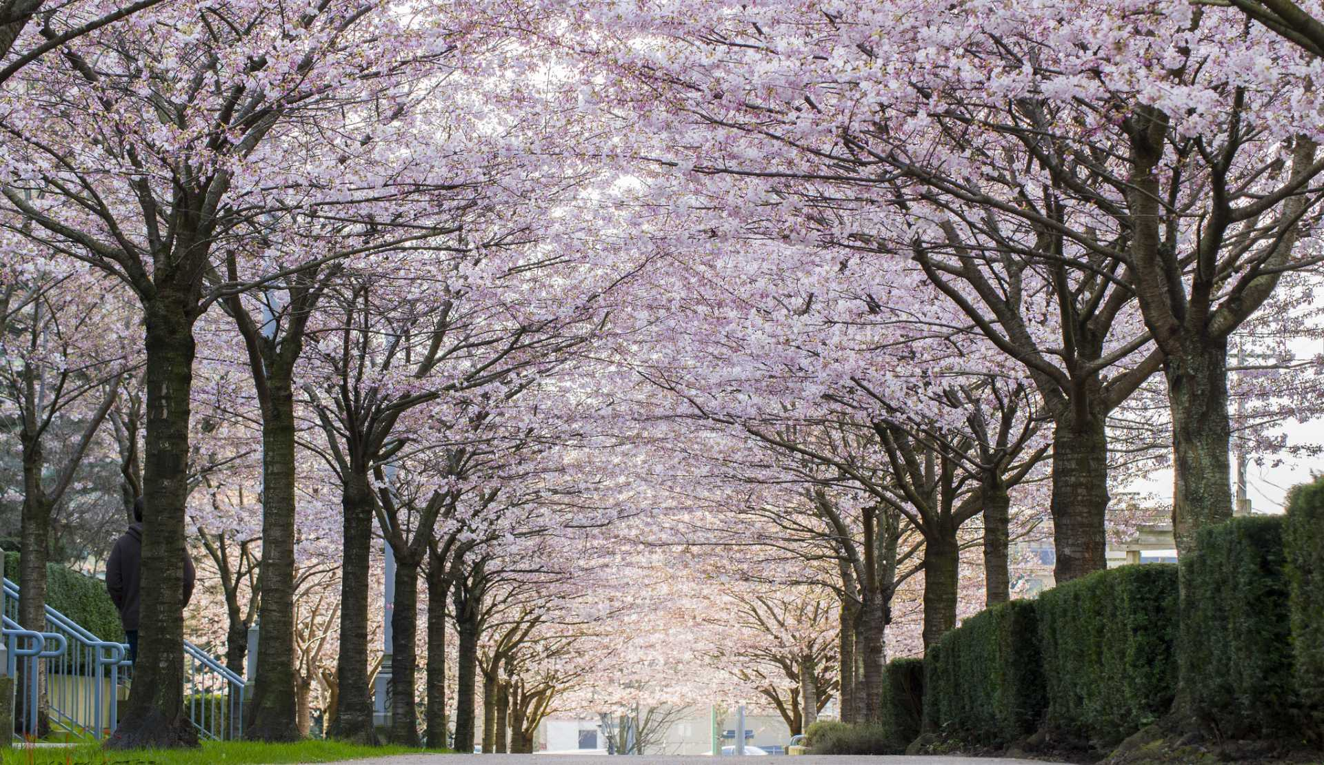 Guide to Vancouver's Cherry Blossoms