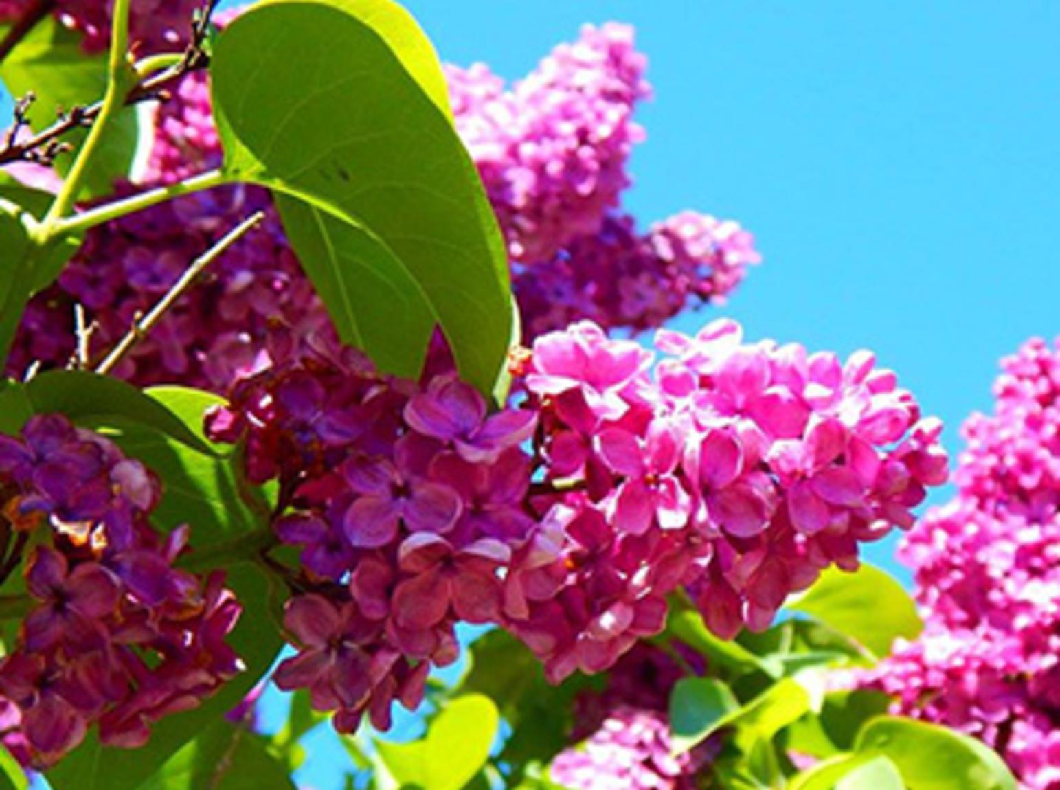 Lilac-A-Palooza1.jpg