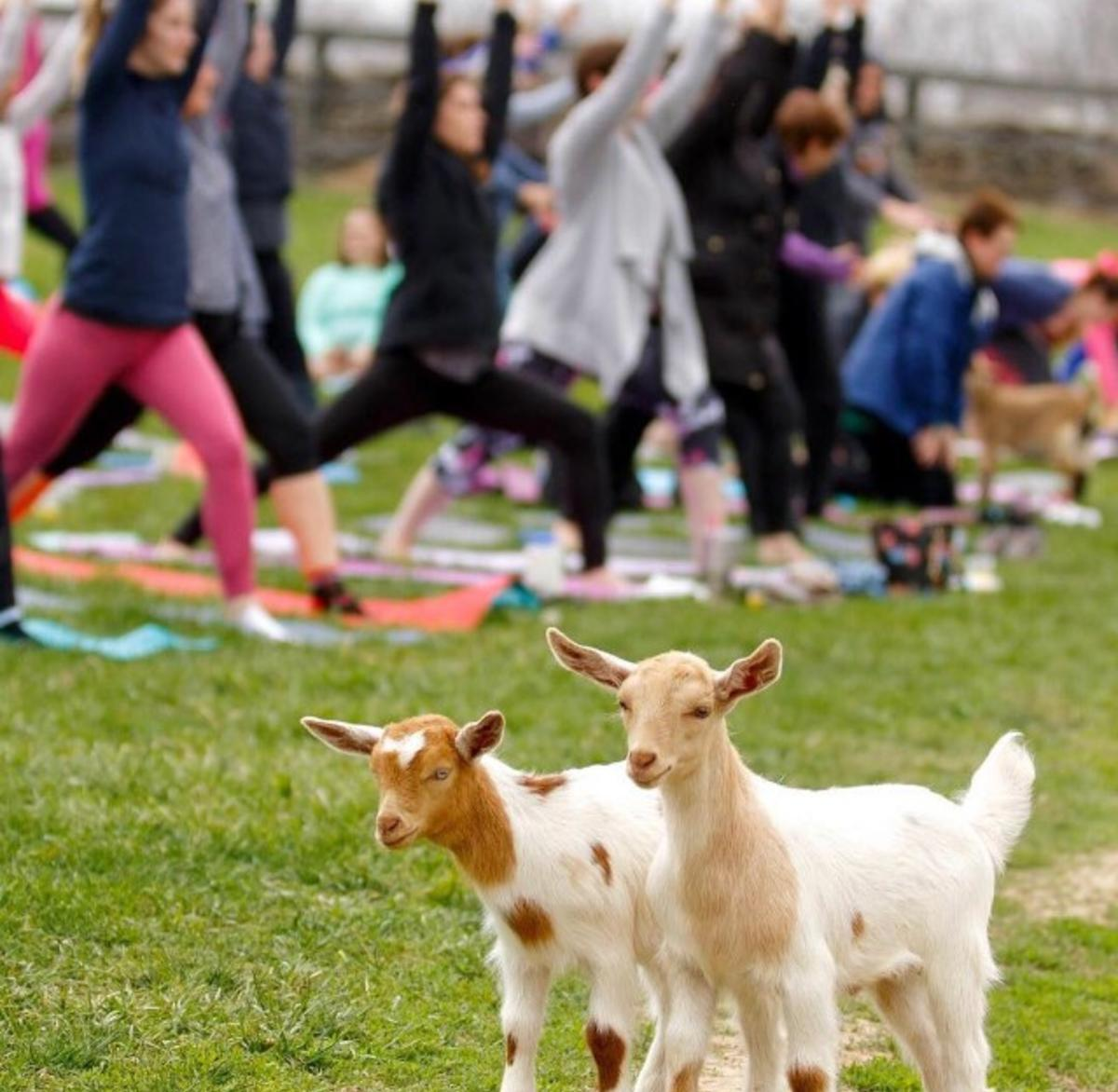 People doing yoga outside with goats