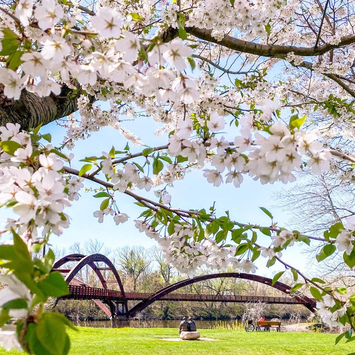 Beautiful spring tree blossoms framing the Tridge, a 3-legged pedestrian bridge in Midland
