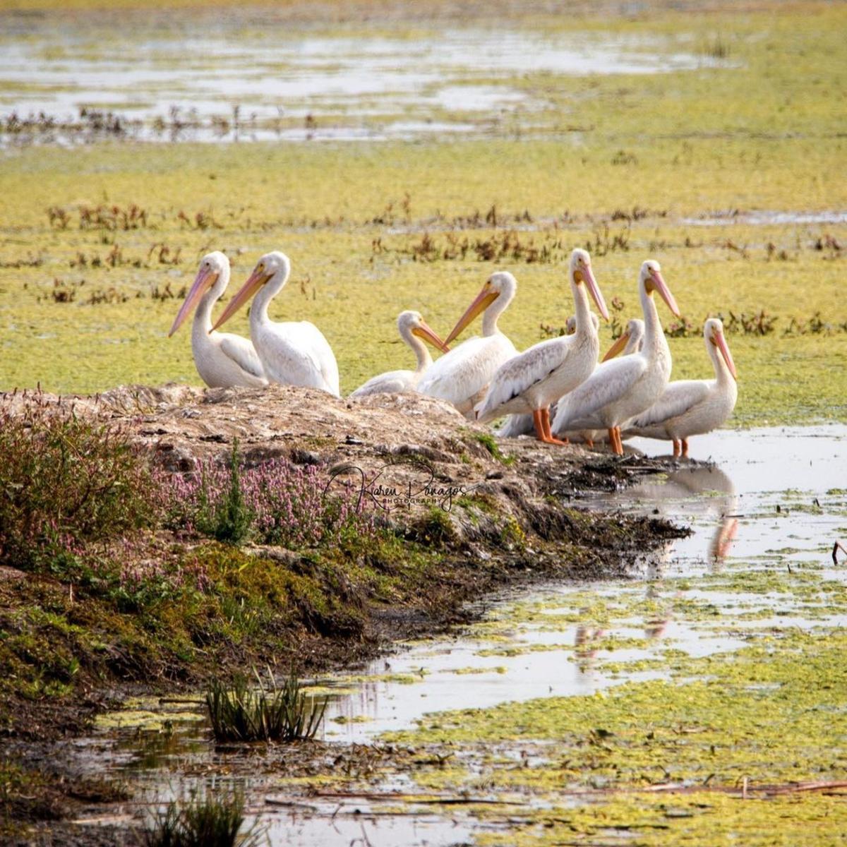 Pelicans gathered at Shiawassee National Wildlife Refuge in Saginaw