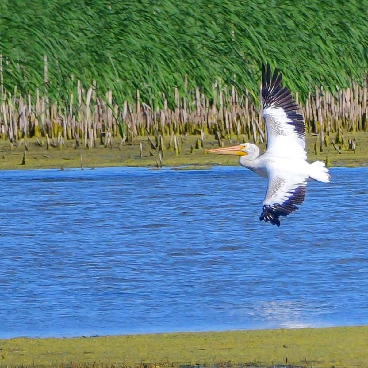 American White Pelican flying over the water of Shiawassee National Wildlife Refuge