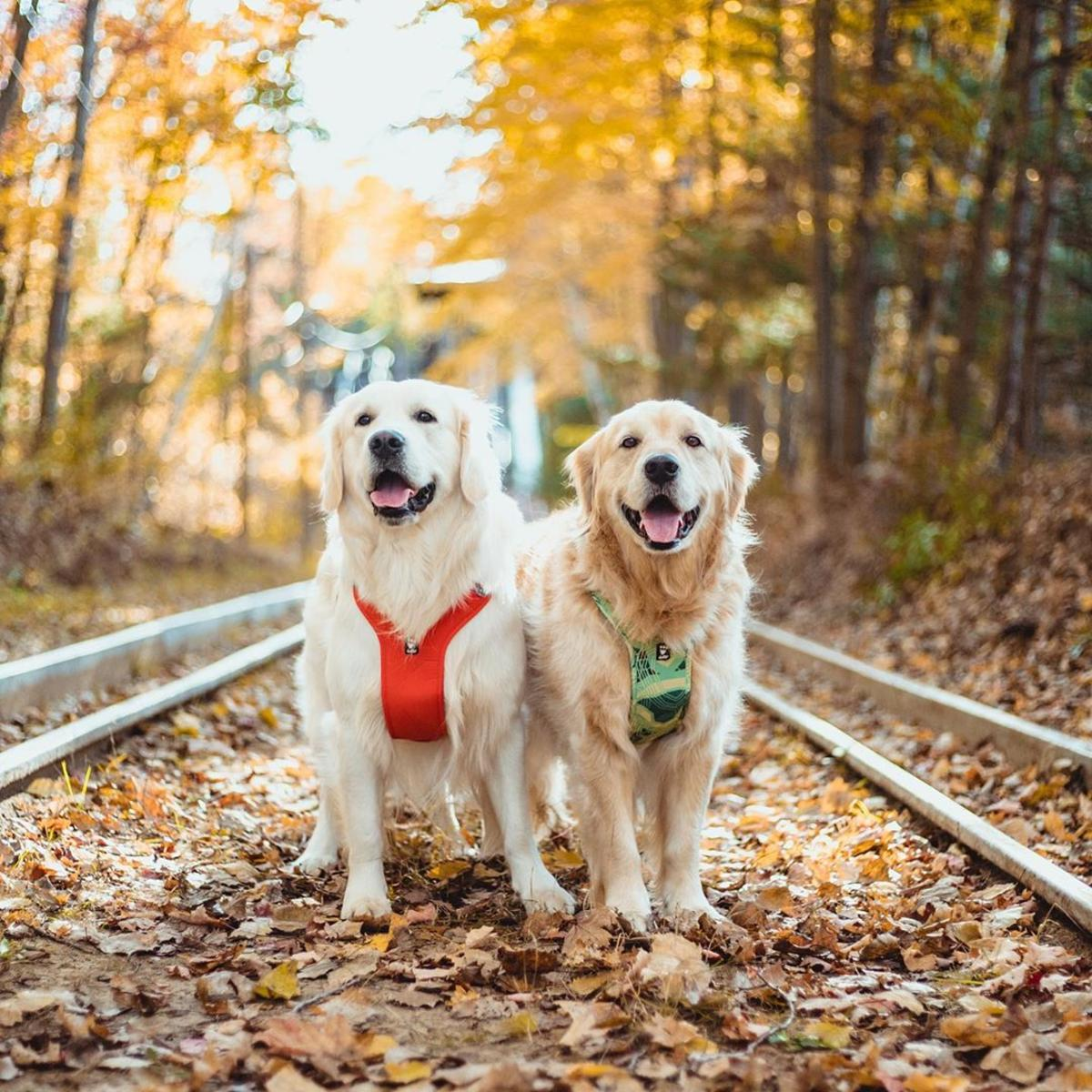 Two golden retrievers walking on a fall leaf-covered trail at Midland City Forest