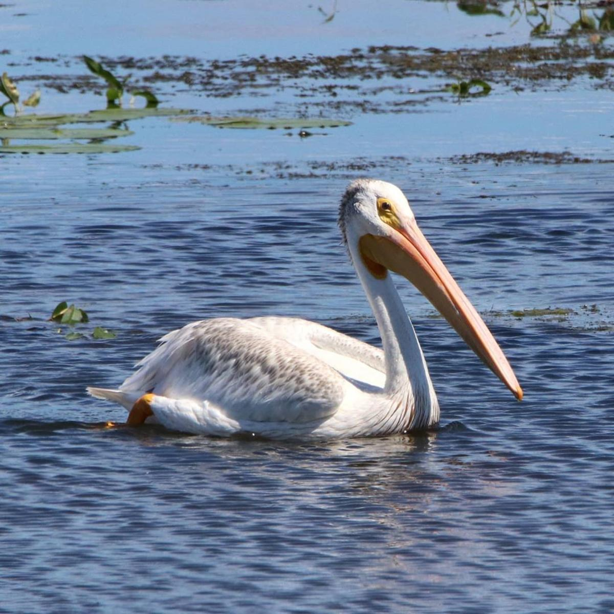 American white pelican swimming at Shiawassee National Wildlife Refuge in Saginaw