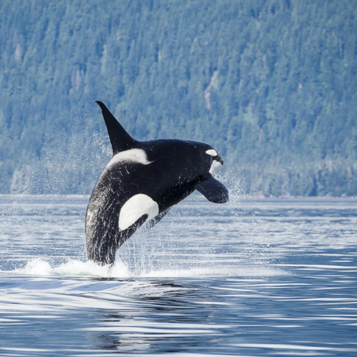 Pybus Point Breaching Orca