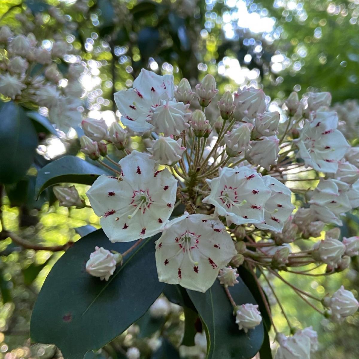 Mountain Laurel blooms