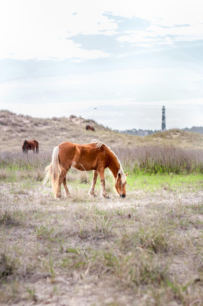 Wild horses at Shackleford Banks on the Crystal Coast, NC