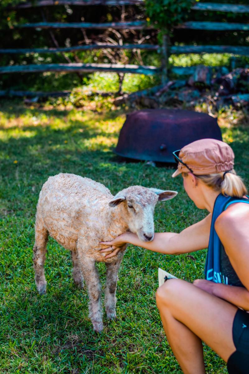 Historic Latta Plantation Sheep