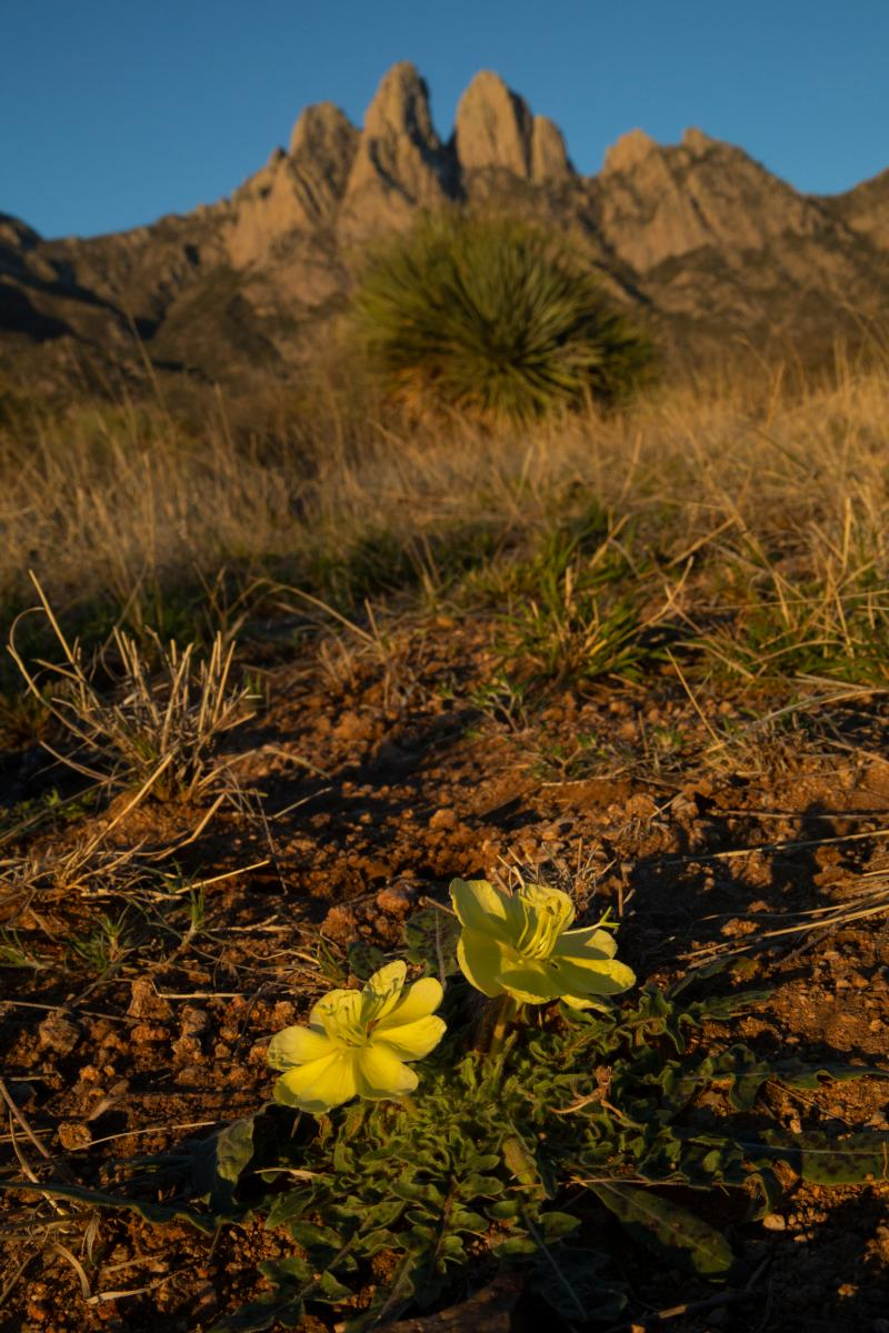 Mexican poppies along the Baylor Canyon Pass trail, New Mexico Magazine
