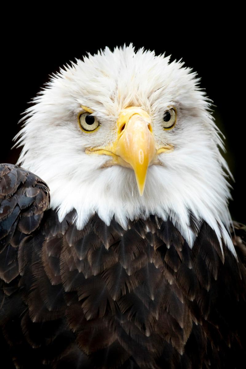 Bald Eagle at the Sedgwick County Zoo