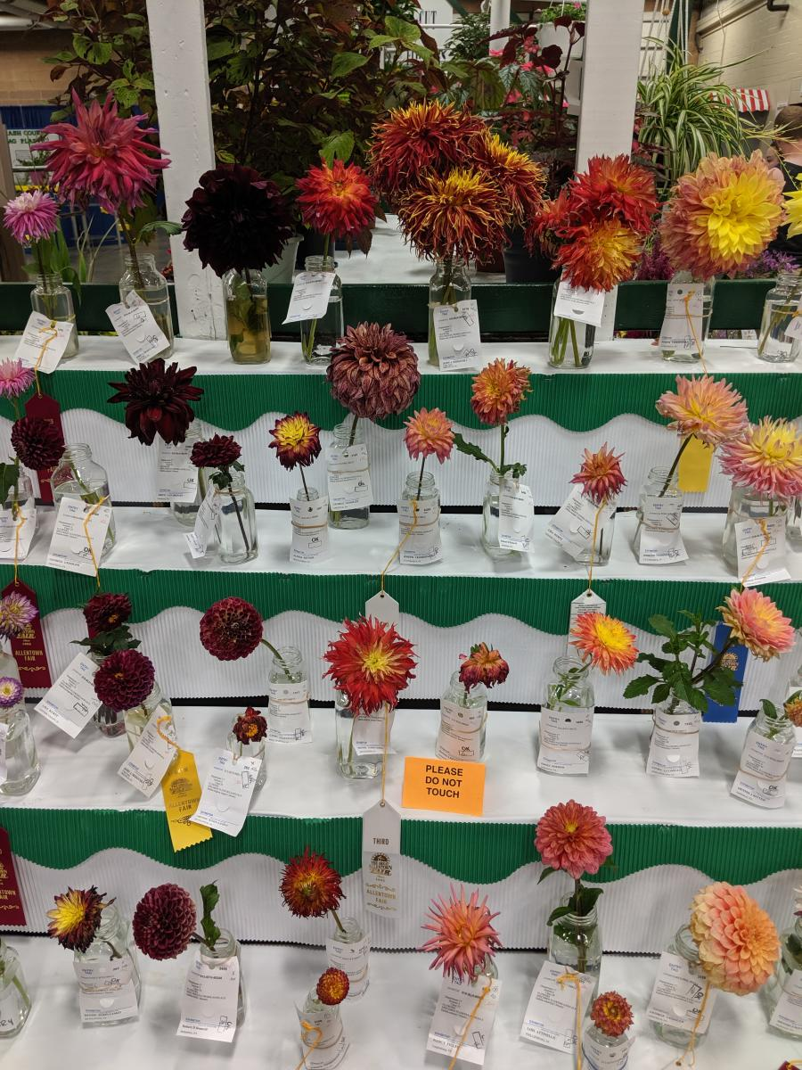 Competition Dahlias at the Great Allentown Fair