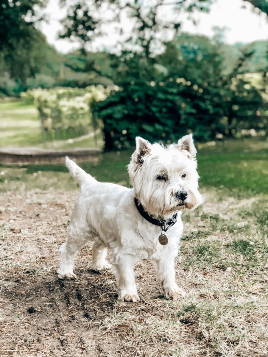 Little Dog at English Oak Vineyard