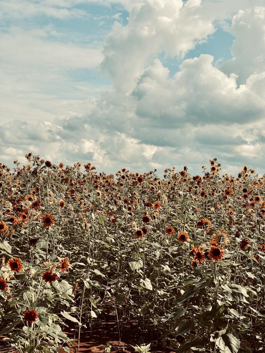Hubert Family Farm Sunflowers Zenovia