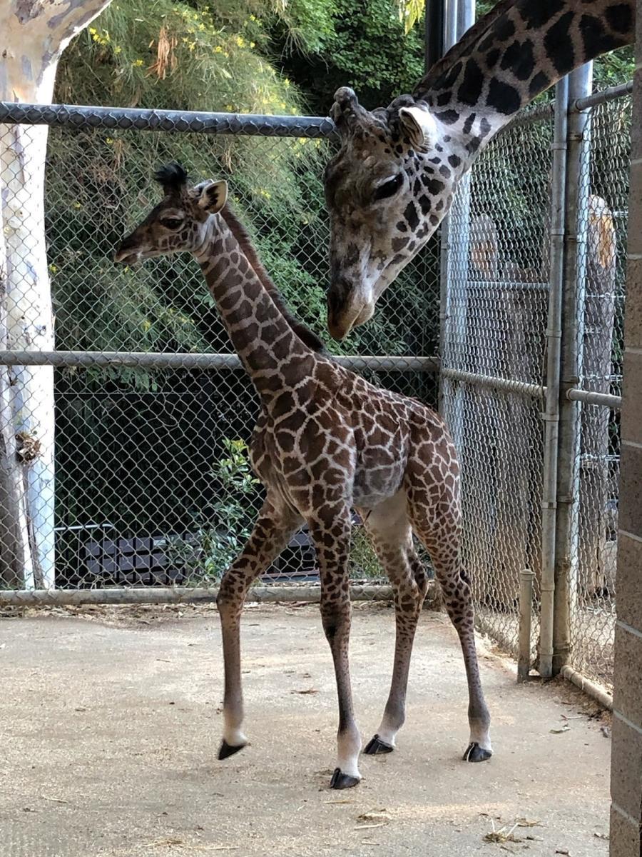 Glori and Chifu Giraffes
