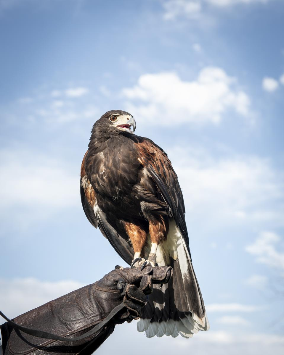 Harris Hawk Santa Fe Raptor Center