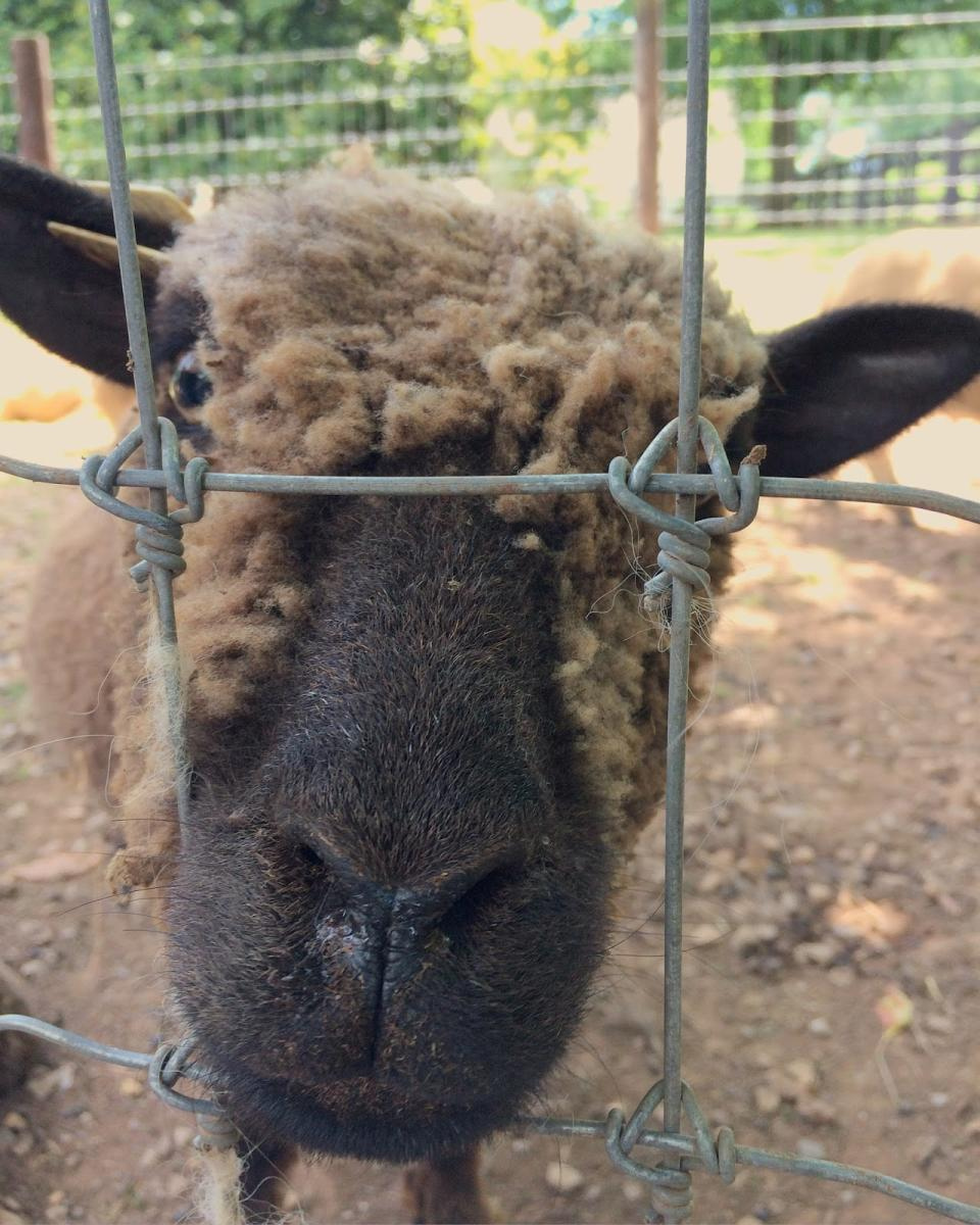 Close-up view of a sheep at 1818 Farms