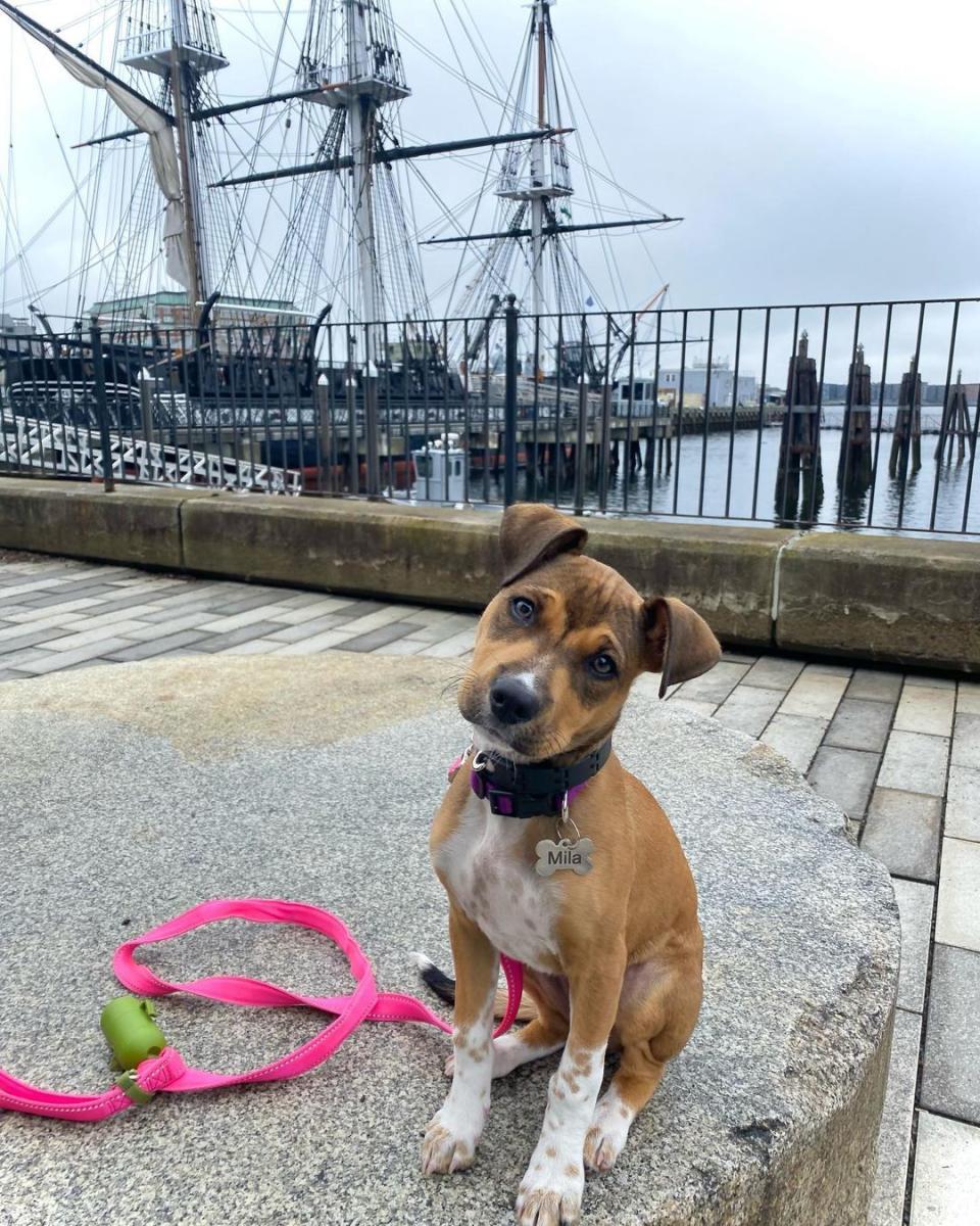 Dog on the Freedom Trail near a sail boat in Boston, MA