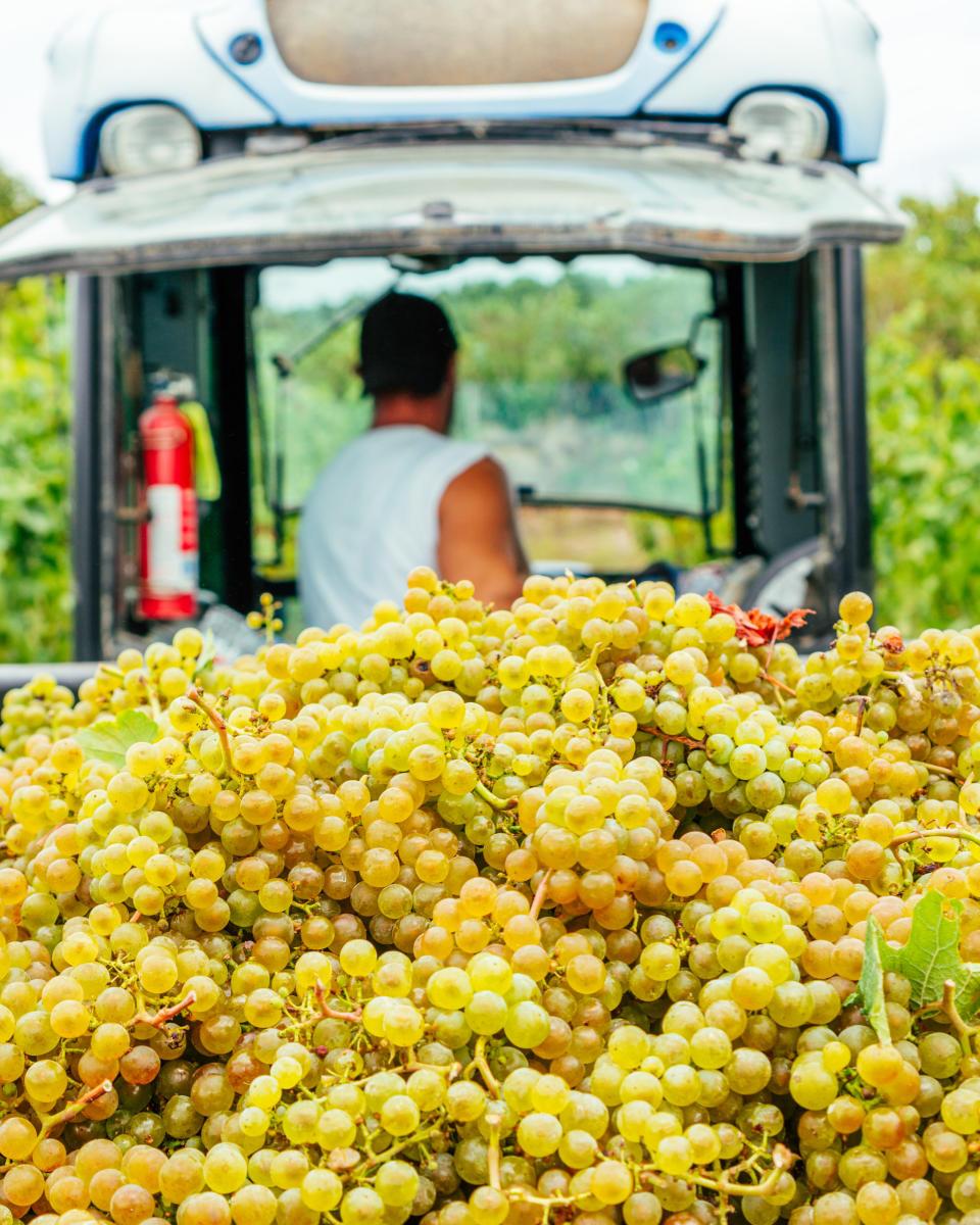 hauling grapes by Maiah Johnson Dunn