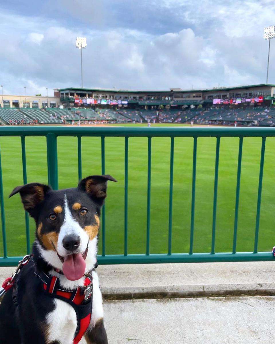 Dog at a TinCaps baseball game in downtown fort wayne