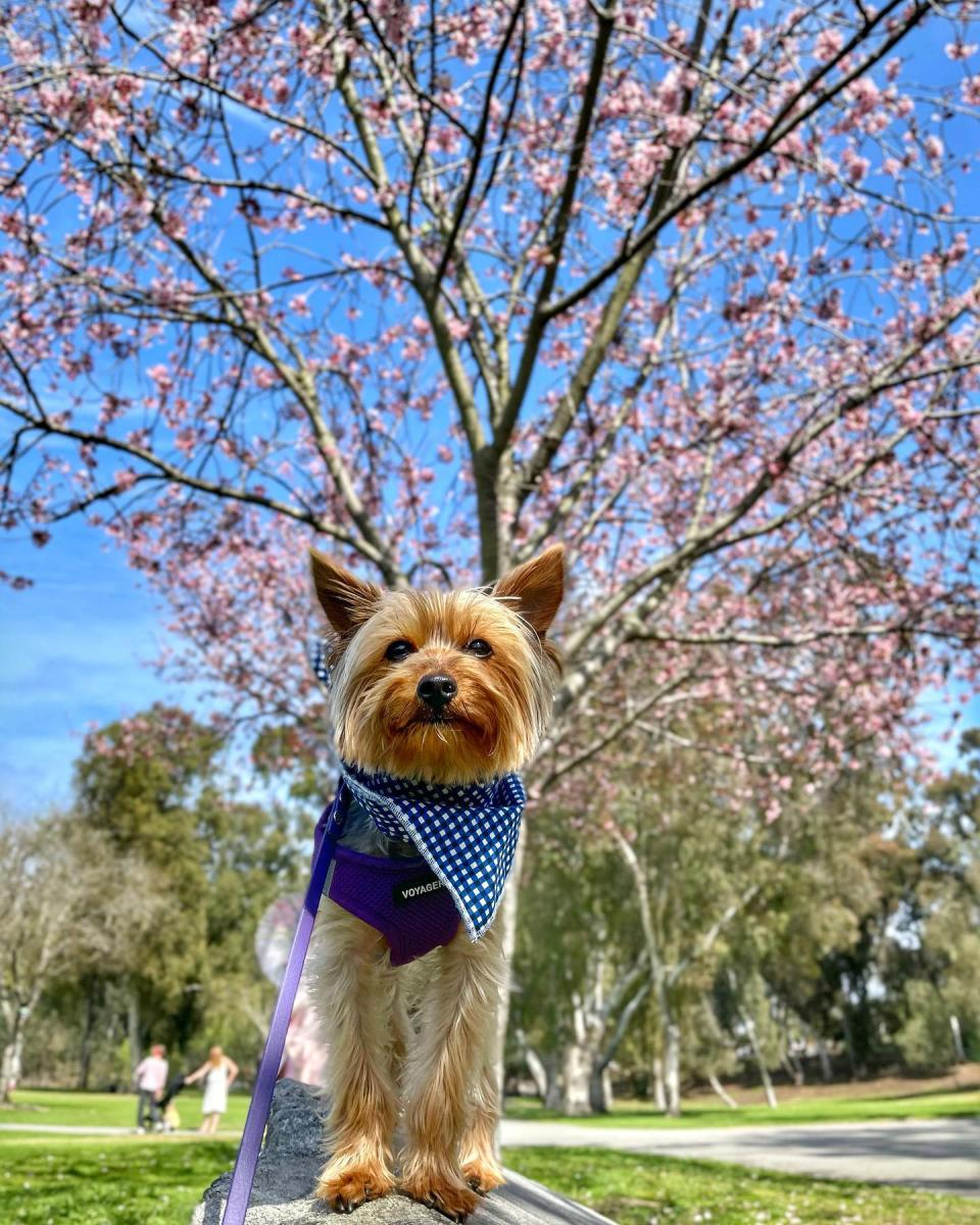 Huntington Central Park. Dog with Cherry Blossoms