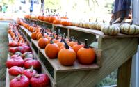 Line of Pumpkins at an Athens Pumpkin Patch