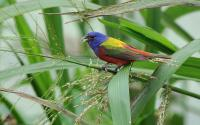 Painted Bunting bird in a bush