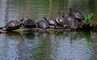 Turtles on a log at Shangri La