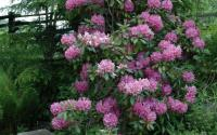 Catawba rhododendron in Daniel Boone Native Gardens