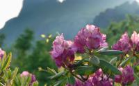 The Catawba Rhododendron