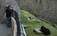 Black Bears Emerge at Grandfather Mountain   Linville
