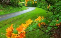 Flame Azalea | Blue Ridge Parkway near Boone