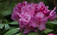 Catawba Rhododendron cluster