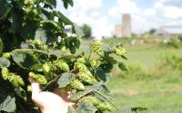 Falling Branch Brewery Hops