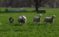 Old Chatham Sheep Herding Company 1203