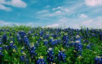 Field of Texas Blue Bonnets on a Sunny Beautiful Day