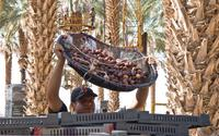 Medjool Date Harvest by Bard Valley Date Producers in Yuma, Arizona